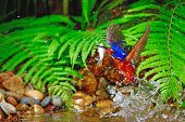 Blued-eared Kingfisher