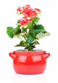 foto of begonias  - Flower blooming in a pot red begonia - JPG