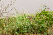 image of monitor lizard  - monitor lizard walking in the grass and looking at me - JPG