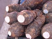 foto of taro corms  - Tropical plant primarily grown as a root vegetable for its edible starchy corm - JPG