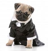 formal dog - pug wearing tuxedo isolated on white background