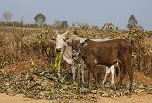 stock photo of brahma  - two brahma cows eating by a dusty roadside in the arid landscape of karnataka in south india - JPG