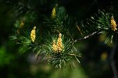 Blooming pine bud.