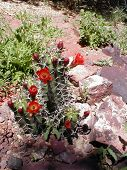 stock photo of xeriscape  - landscape of claret cup in bloom - JPG
