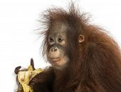 Close-up of a young Bornean orangutan eating a banana, Pongo pygmaeus, 18 months old, isolated on wh