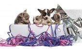 stock photo of chihuahua  - Group of Chihuahua puppies in a present box with streamers - JPG