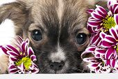 Chihuahua puppy portrait with pink chrysanthemums flowers macro