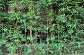 Bamboo For Fencing