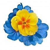 Color blooming primrose primula polyanthus isolated on white