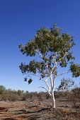 Outback Ghost Gum