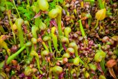 Cobra Liliy Pitcher Plants
