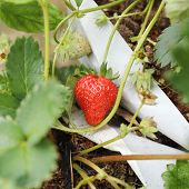 stock photo of strawberry plant  - Fresh Strawberry on Strawberry Tree on organic plant - JPG