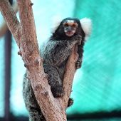 stock photo of marmosets  - Close up Common Marmoset on the tree - JPG