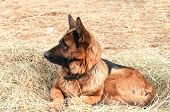 German Shepard Dog Laying On The Hay