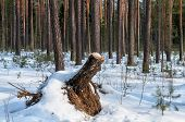 stump in the snowy winter forest