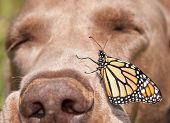 picture of monarch  - Monarch butterfly perched on the side of a dog - JPG