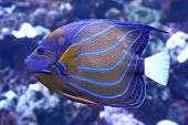 stock photo of angelfish  - bluering angelfish Swimming in its natural habitat - JPG