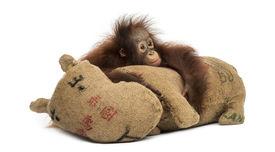 picture of saddening  - Young Bornean orangutan hugging its burlap stuffed toy - JPG