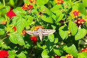 pic of hawk moth  - Hummingbird moth  - JPG