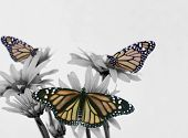 Three Monarch On Daisy