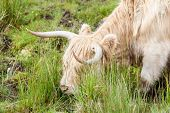 stock photo of highland-cattle  - Highland cattle or Scottish cattle photographed on Isle of Skye - JPG