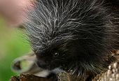Baby Porcupine (erethizon Dorsatum) Close Up