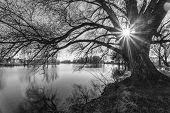 picture of spooky  - spooky abstract black and white tree silhouette in sunrise time - JPG