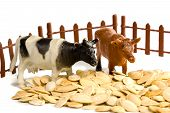 Cows near a fence in pumpkin seeds