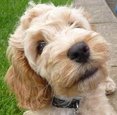 foto of cockapoo  - a close up shot of a Coakcpoo puppy