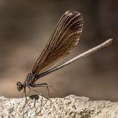 Broad-winged Damselfly