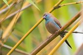 A Female Red-cheeked Cordon Bleu (uraeginthus Bengalus) Perched In Bamboo