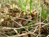 Skipper Frog In Grass