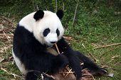 Panda Eating Bamboo Stack