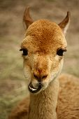 Funny, smiling beige lama with crooked teeth and big brown eyes; close up portrait