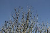 Blackthorn Tree Branches