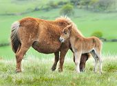 Wild Dartmoor Foal And Mother