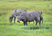 Domestic Asian water buffalo on a pasture in the southeastern China.