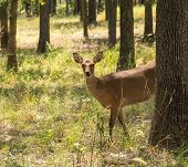 Sika Deer, Cervus nippon, in forest, looking at the viewer partially from behind a tree