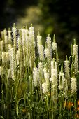 White Spike Flower