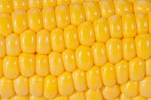 background of yellow corn grains on the colb macro