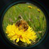 Honeybee On Dandelion In Objective Lens