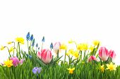 stock photo of horticulture  - Spring flowers in green grass isolated on white background - JPG