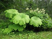 image of pubescent  - Astilboides tabularis and Aruncus dioicus on the shady flowerbed - JPG