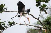 Painted stork landing on tree top
