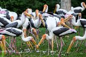 Painted storks feeding