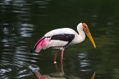 painted stork hunting for fish in a shallow pond