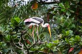 Painted stork on tree top