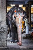KANCHIPURAM, INDIA - SEPTEMBER 12, 2009: Elephant in Kailasanthar temple. Temple elephants are vital part of many temple ceremonies and festivals, particularly in South India