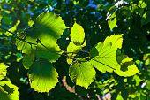 picture of hazelnut tree  - beautiful leaves of a hazlenut tree in detail - JPG