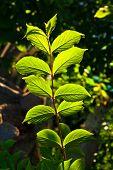 pic of hazelnut tree  - beautiful leaves of a hazlenut tree in detail - JPG